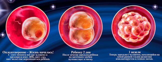 Картинки по запросу фото ребенка в утробе по неделям