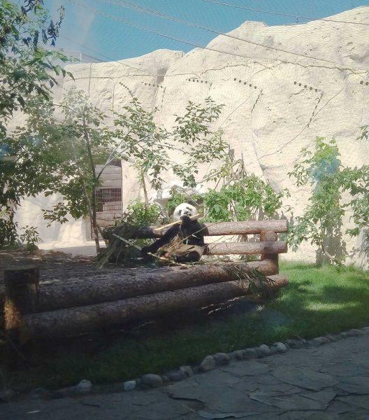 Панды в московском зоопарке - как посмотреть без очереди и кто может посмотреть бесплатно