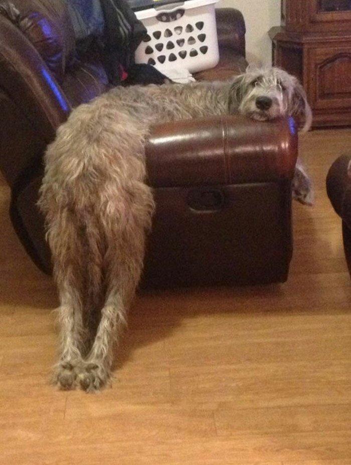 Самые добрые в мире собаки размером с теленка - 23 фото смешных и милых ирландских волкодавов