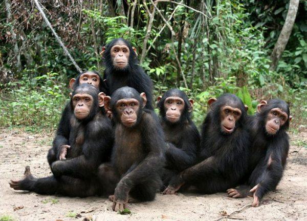 Семейство шимпанзе