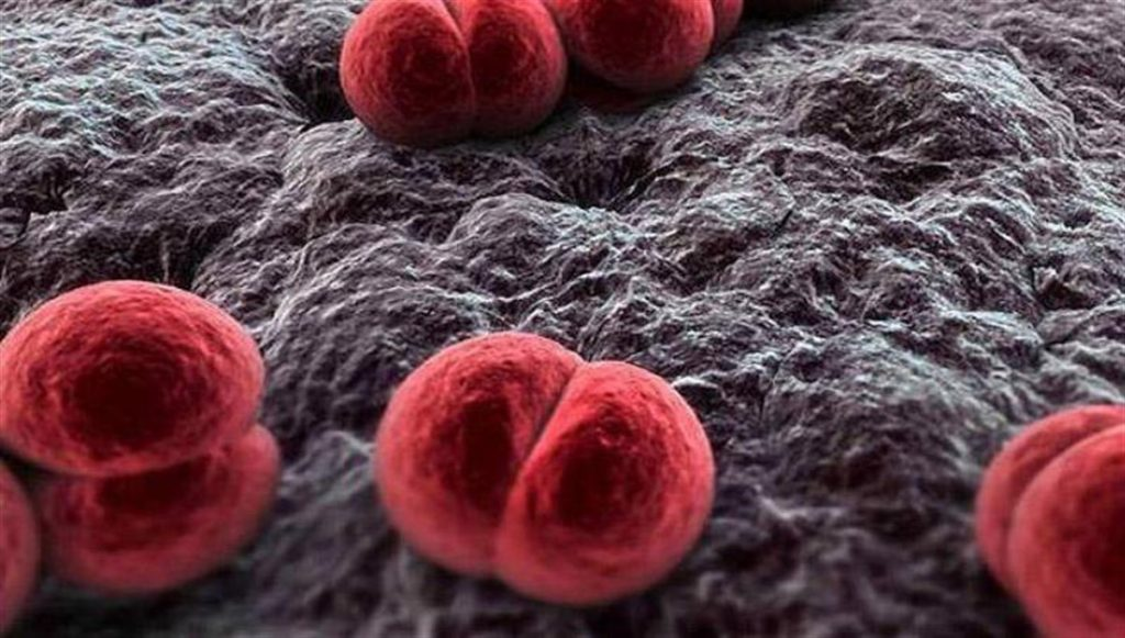 Meningococcus